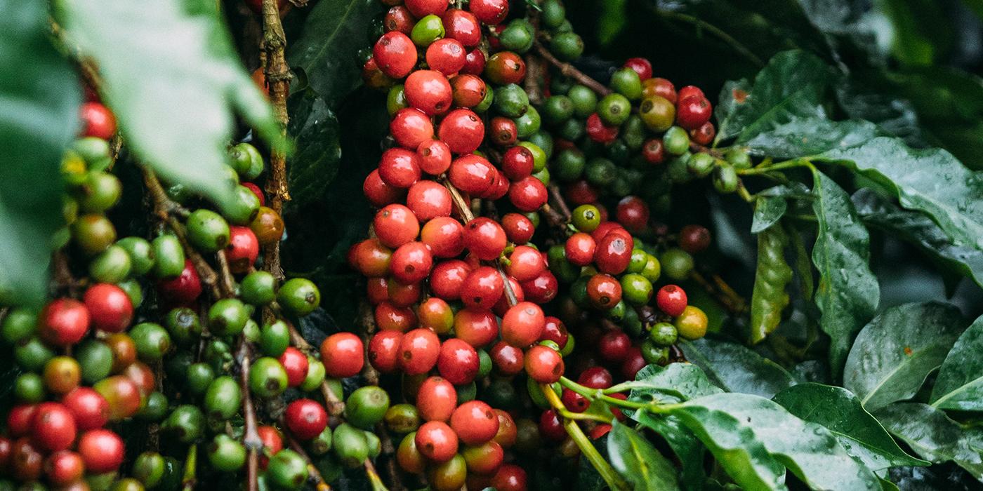 Kenyan Coffee Varieties